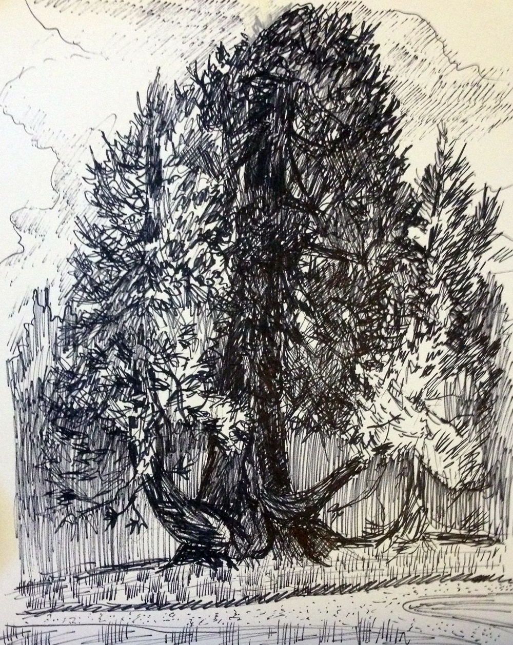 Sequoia 3 -  ink on paper