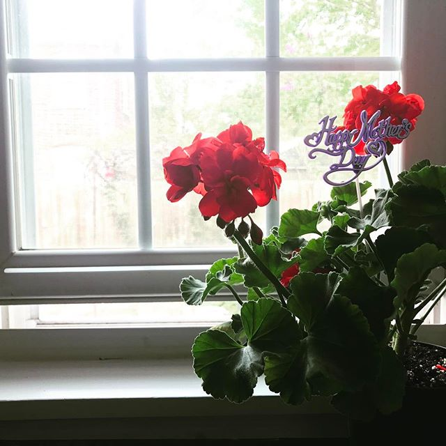 Early Mother's Day gift from my daughter Emilia (she is 6 years). Her school had a Mother's Day flower shop today, best gift! 🌷  #mothersday #luckymom #geraniums #americanared #dezignstudio
