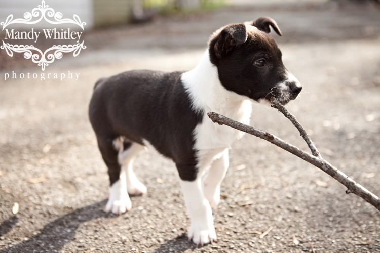 Nashville Foster Puppy
