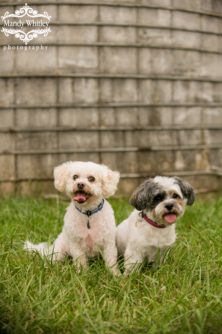 bichon frise mix dog photographer