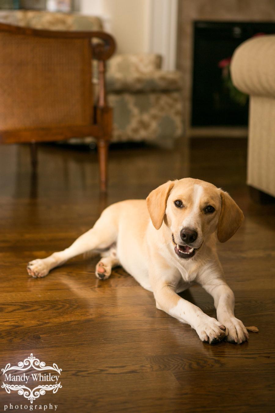 Mandy Whitley Photography | Nashville Pet Photographer | Beagle Freedom Project_0001