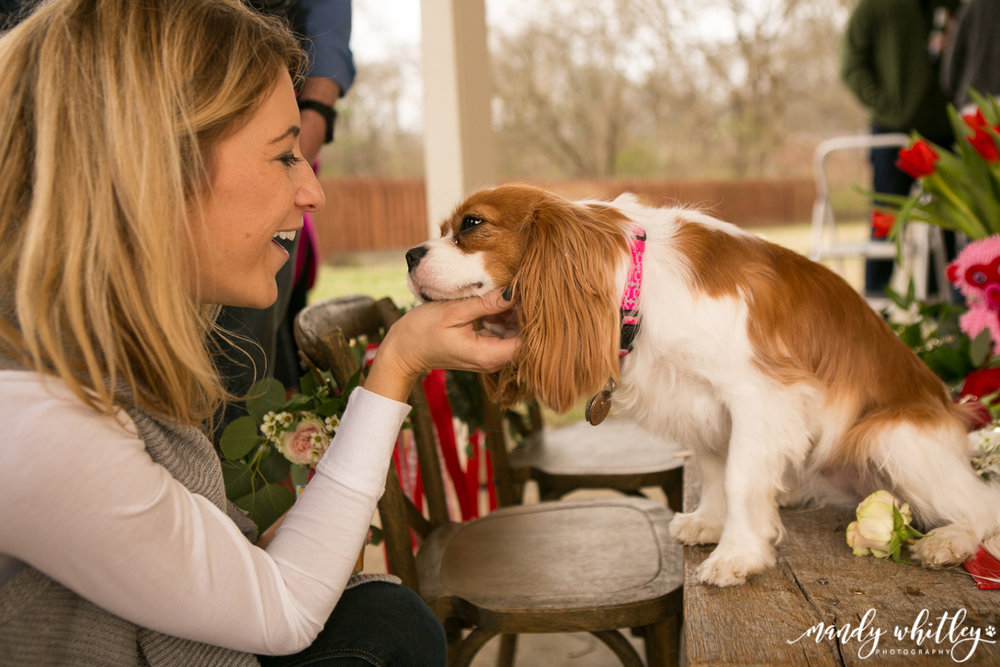 Nashville Cavelier King Charles Spaniels Valentines Pet Photographer