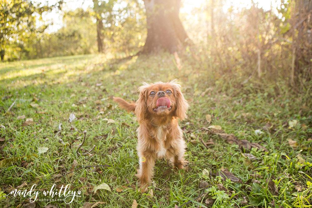 King Charles Cavalier Dog Photographer