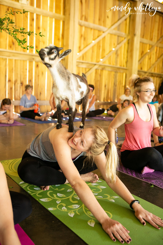 goat yoga animal photographer nashville