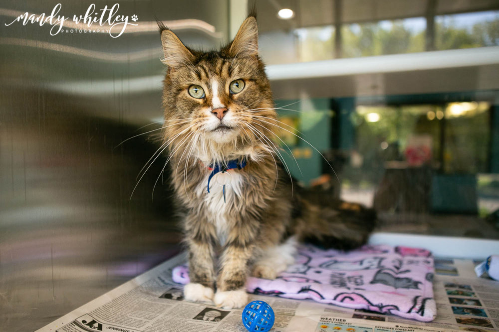 cats for adoption in nashville tn