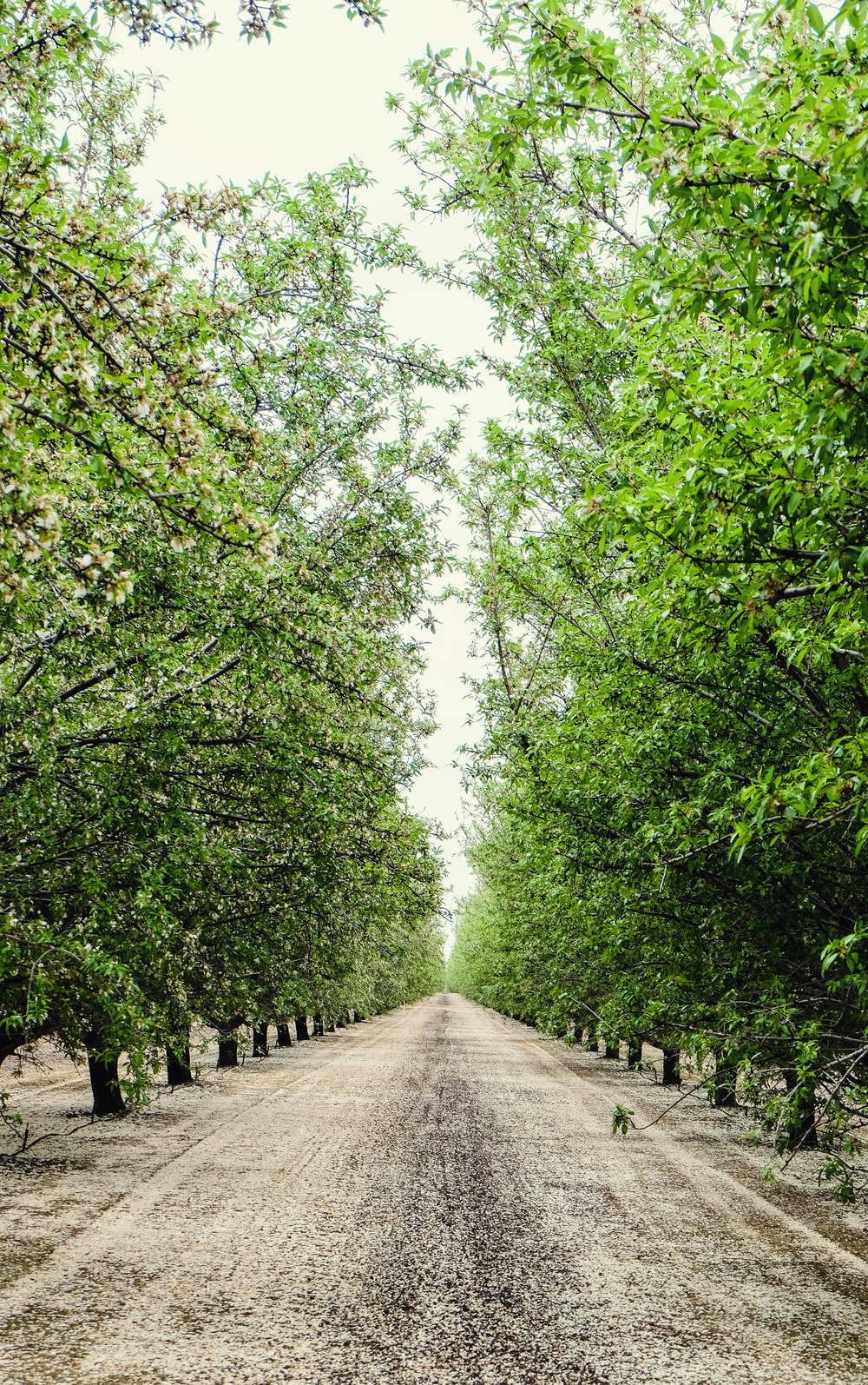 ON THE WAY TO MONTEREY, WE Got lost on Twisselman Road in Lost Hills, CA where we SPOTTED AND STOPPED FOR this beautiful, blooming Pistachio Orchard.