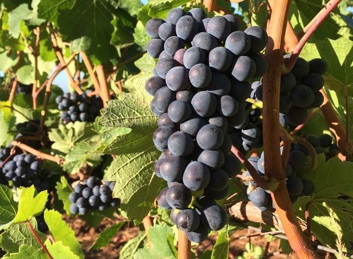 Pinot Noir grapes. Photo by Megan Ziskovsky