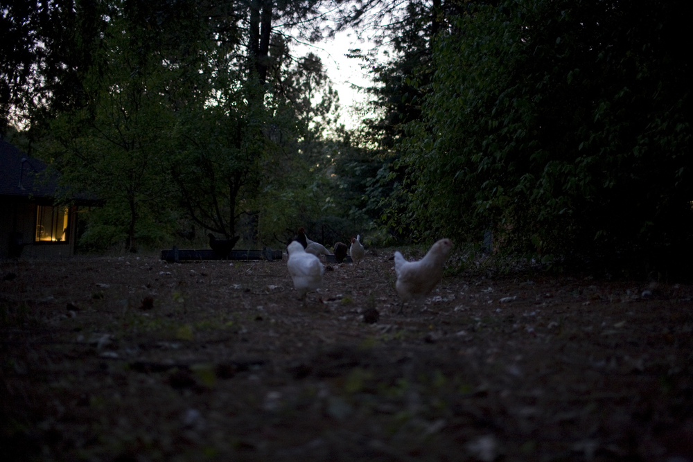 chickens dawn.jpg