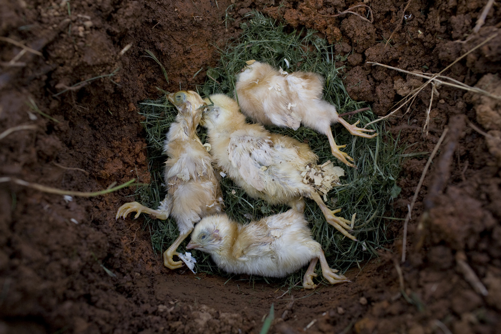 chicks in ground.jpg