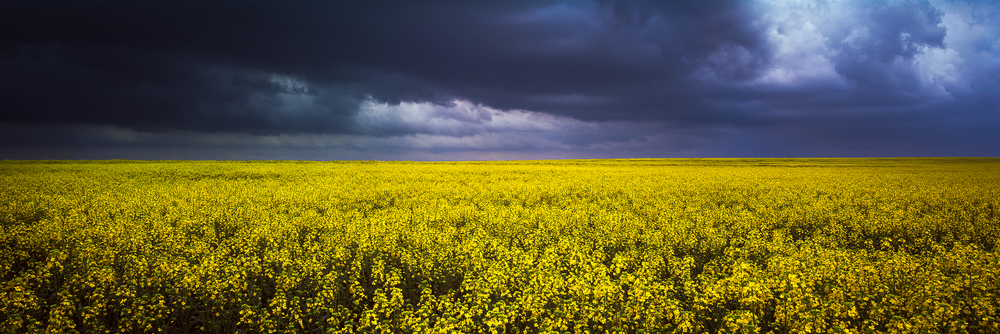 A field of canola awaits a looming storm in eastern Kansas.