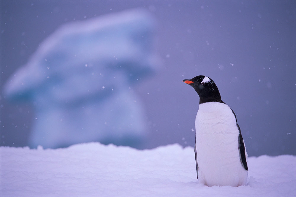 Penguin and Iceberg, photographed on a Nikon F5, Sigma 160-600, Fuji Provia 100F, drum scanned on a Heidelberg Tango