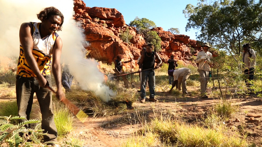 Jigalong rangers removing buffel grass