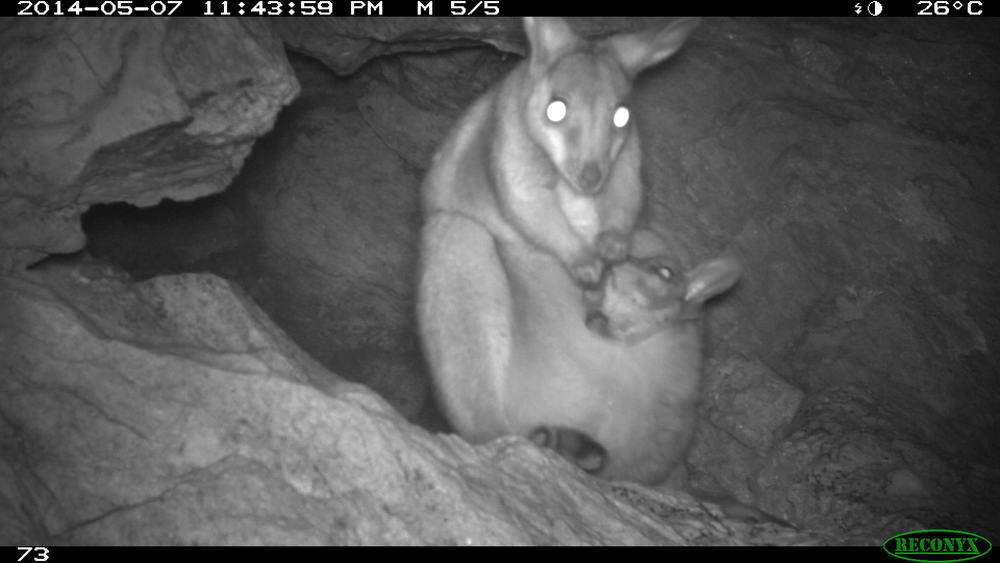 Black-flanked rock wallaby captured on a remote sensor camera