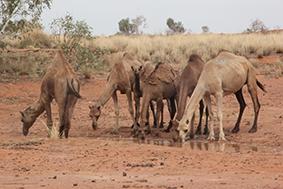 Camel FWebb 2015 (1).jpg