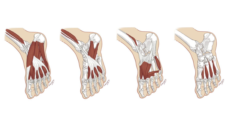 Plantar Muscles of the Foot — Lumedia