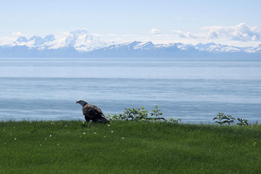 Alaskan seagull.