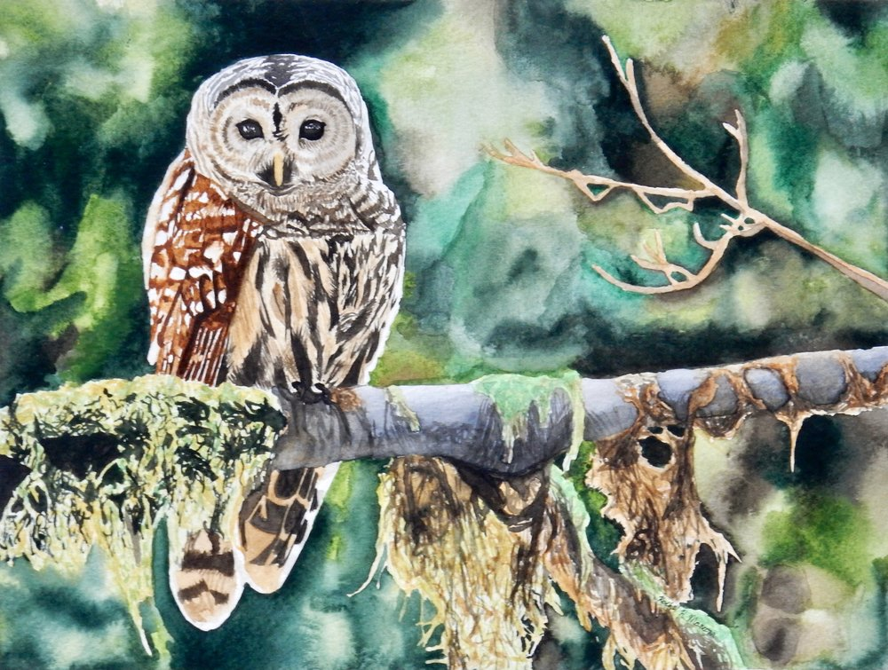 Rachel Mancour.Barred Owl.watercolor