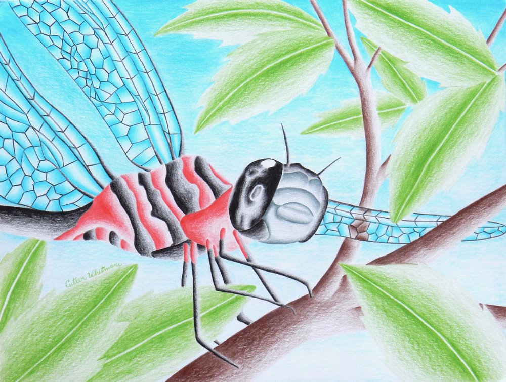 Cutler Whitmore.16 yrs.colored pencil dragonfly