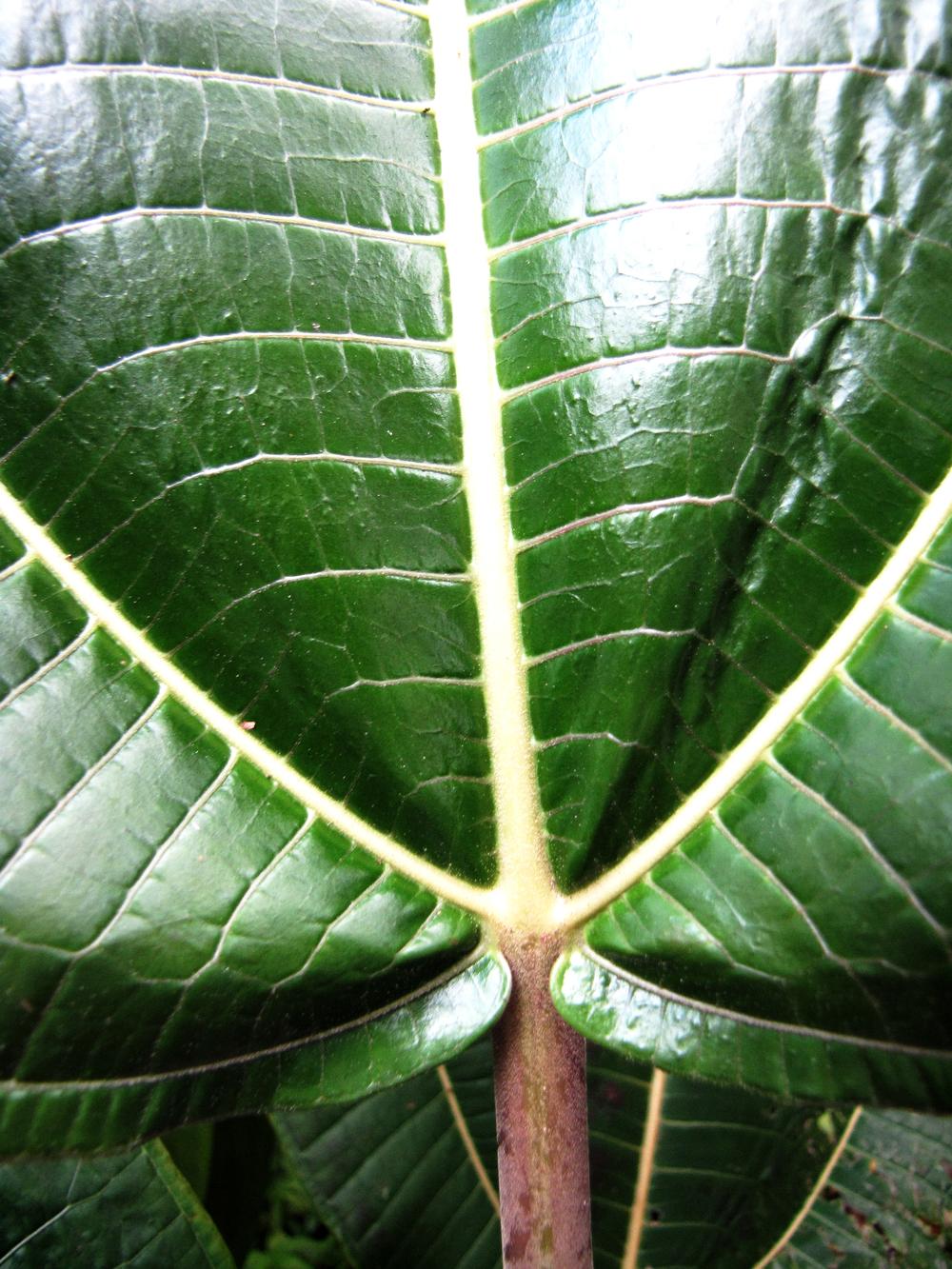 Photo of Melostomataceae leaf