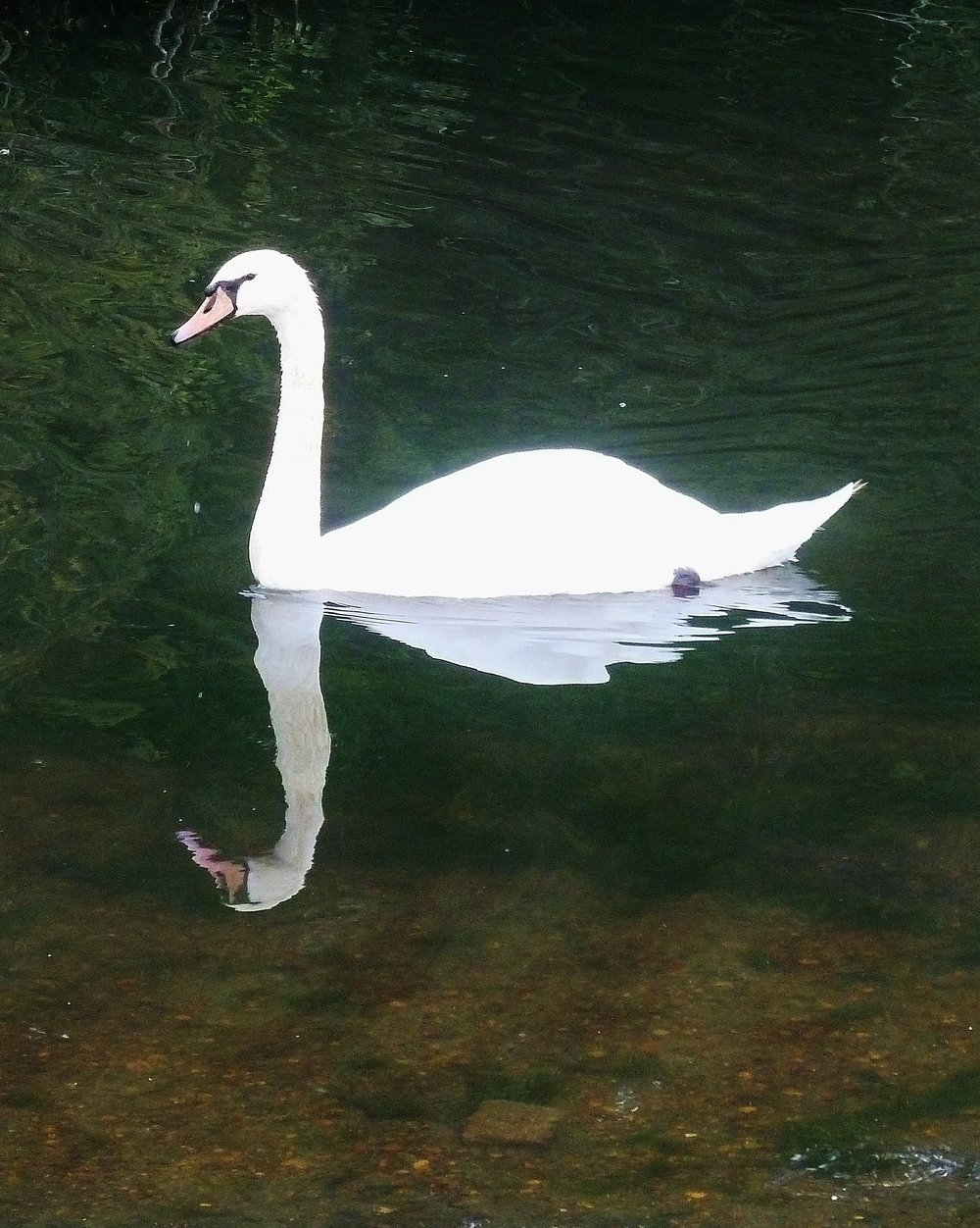 Swan : Hollow Ponds