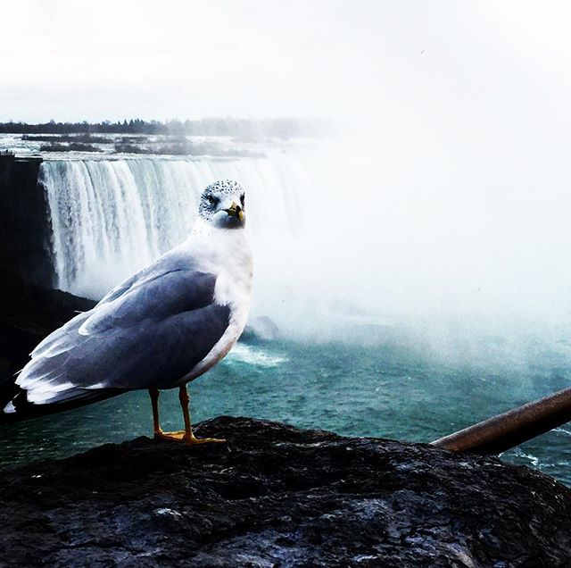 Pigeon by the #falls in #Niagara - not impressed. #notsowildlife #canada #roadtrip #travel #tourist for a bit.