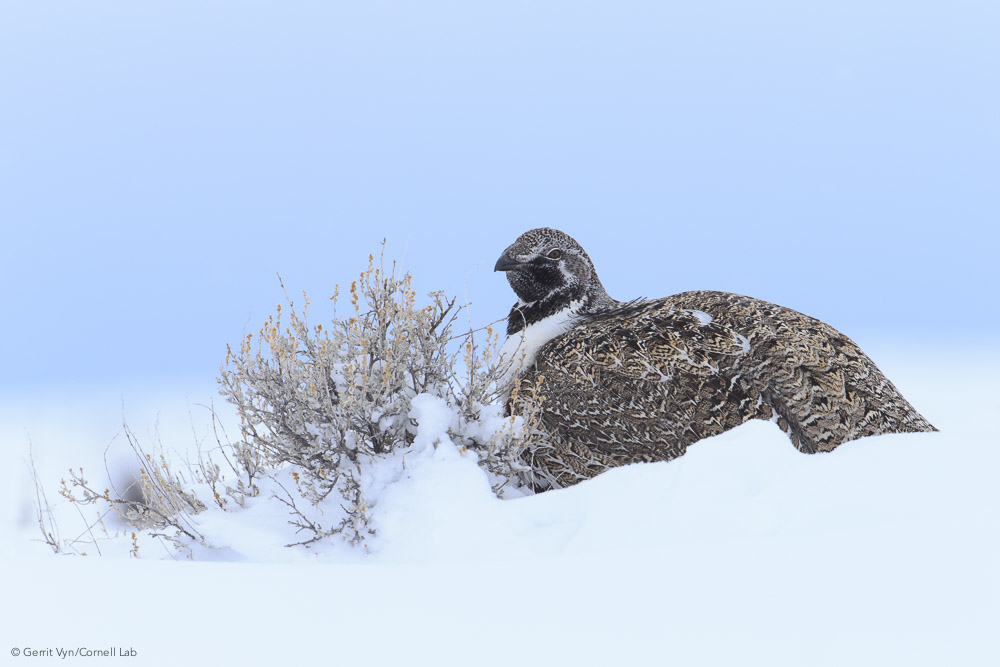 Wyoming's core area strategy is based around leks, but winter habitat is also key to the survival of many sage-grouse populations. Some birds migrate away from their leks and winter in unprotected areas.