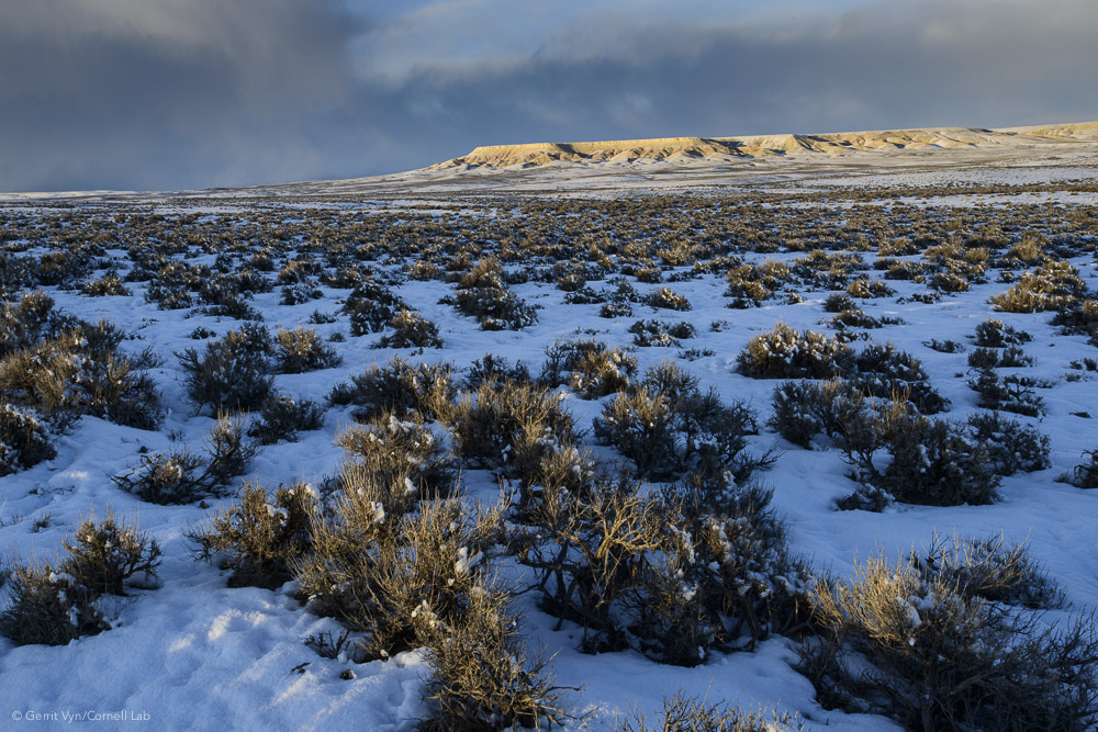Energy companies are pressing to develop this largest known sage-grouse wintering area that draws thousands of grouse from core areas 30 to 60 miles away. The planned project calls for the drilling of 3,500 gas wells in this critical habitat.