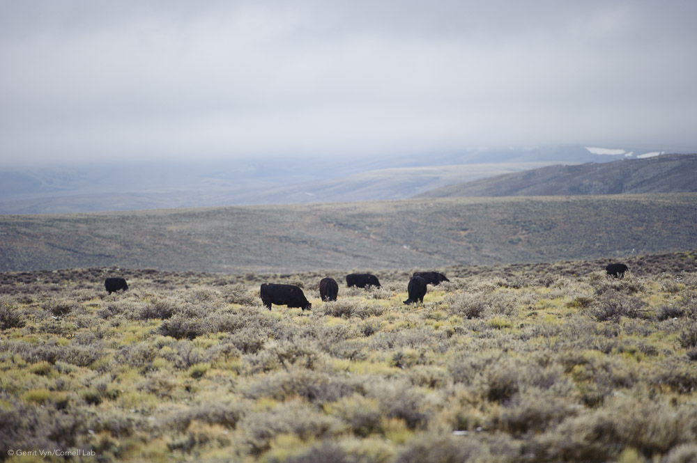 A legacy of overgrazing that stretches back 150 years has degraded sagebrush steppe habitat to the point where many native plant species have been eliminated from large areas. Habitat restoration would result in better breeding for grouse and more nutritious, sustainable grazing areas for livestock.