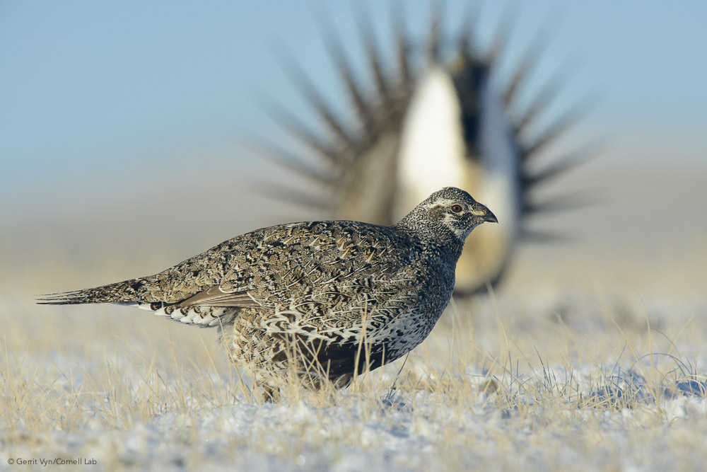 A female Greater Sage-Grouse inspects the displays of males on a lek during the first days of spring.