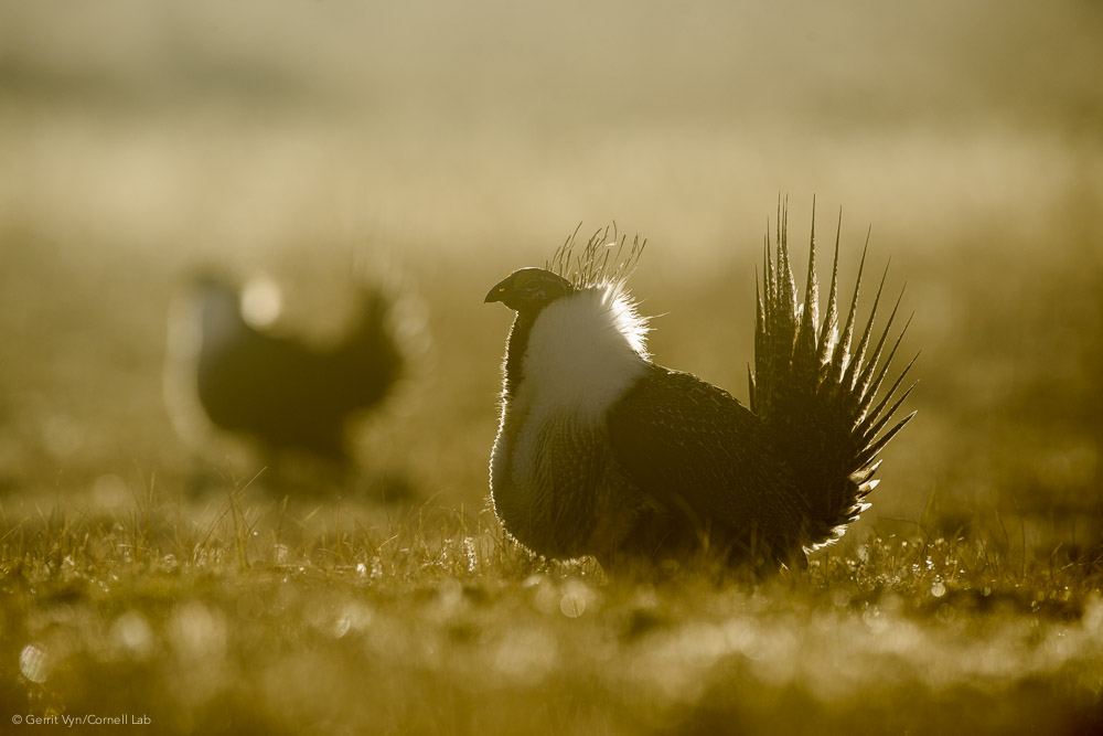 Male Greater Sage-Grouse put in long hours displaying on a lek in breeding season. When there's a full moon in early spring, sage-grouse sometimes display all night long.