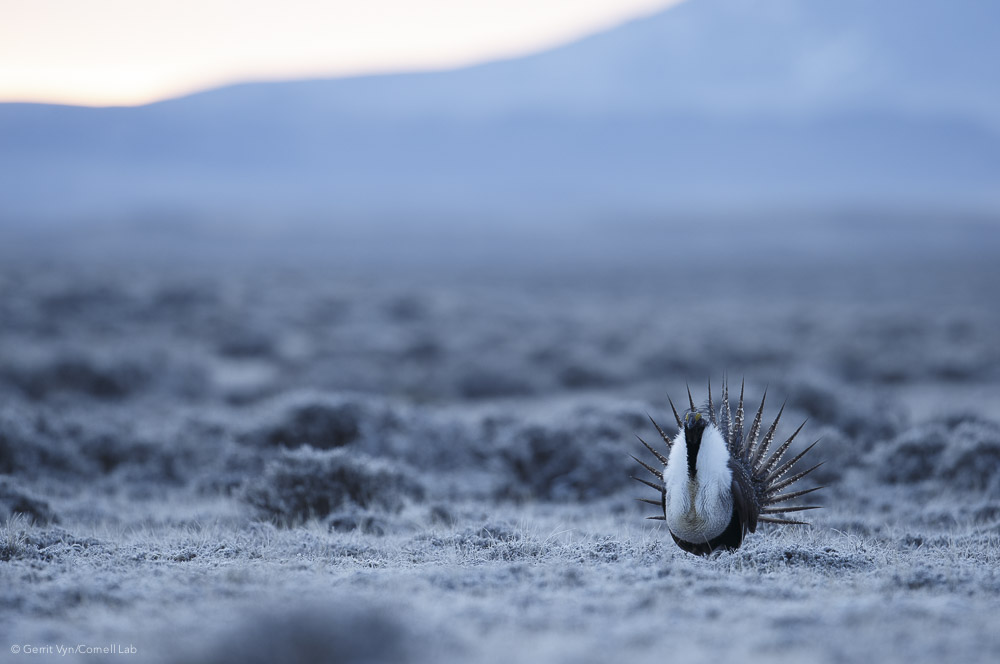 Although many male Greater Sage-Grouse may display at a lek, only one or two males get picked by a majority of the females for mating.