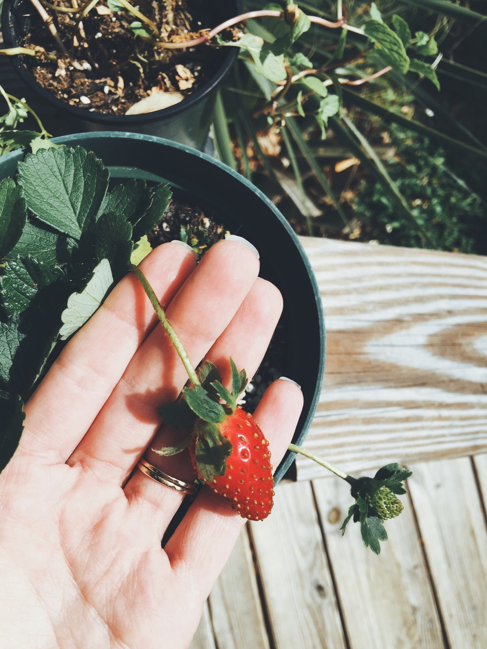our first homegrown organic strawberry.