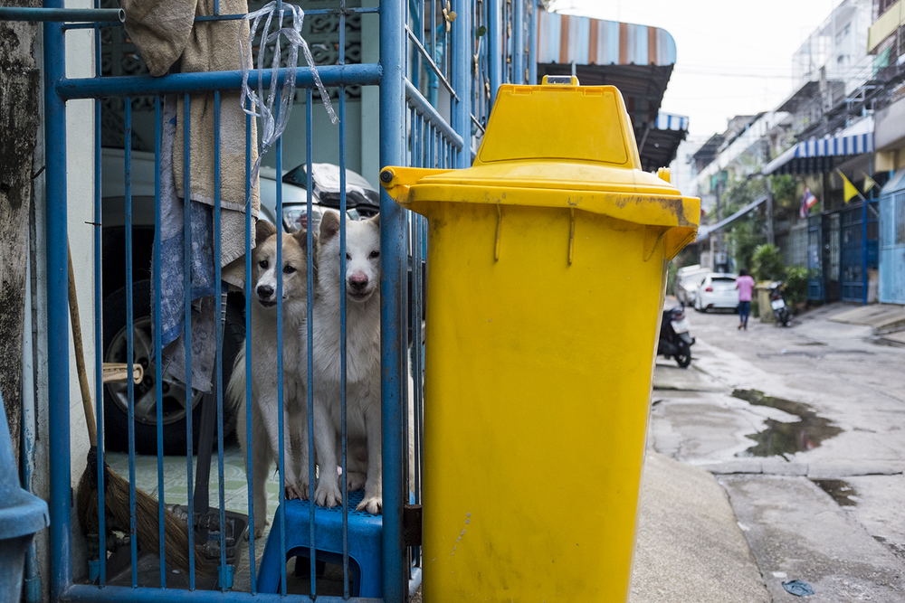 Thai dogs in the streets of Din Daeng.