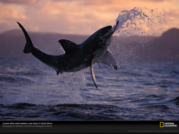 South Africa - Great White Breaching