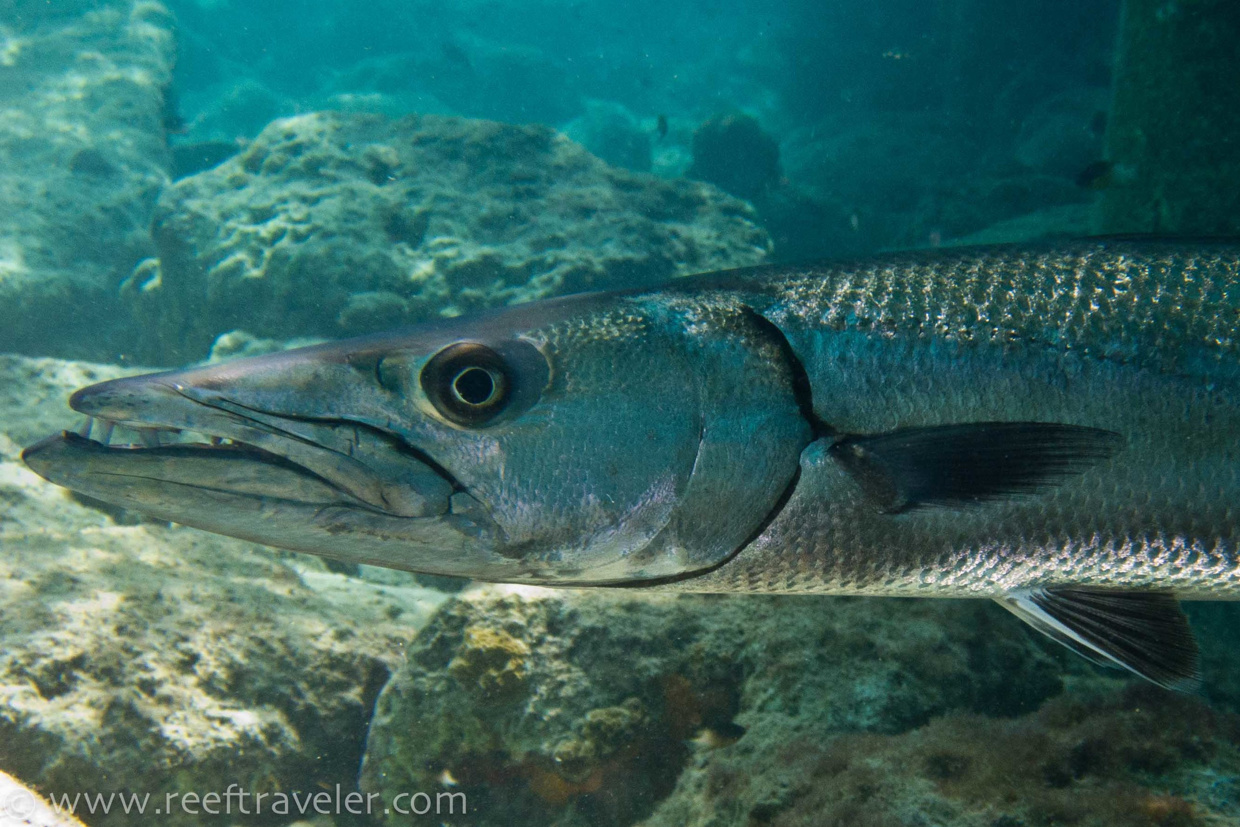 Barracuda at Salt Pier Dive Site