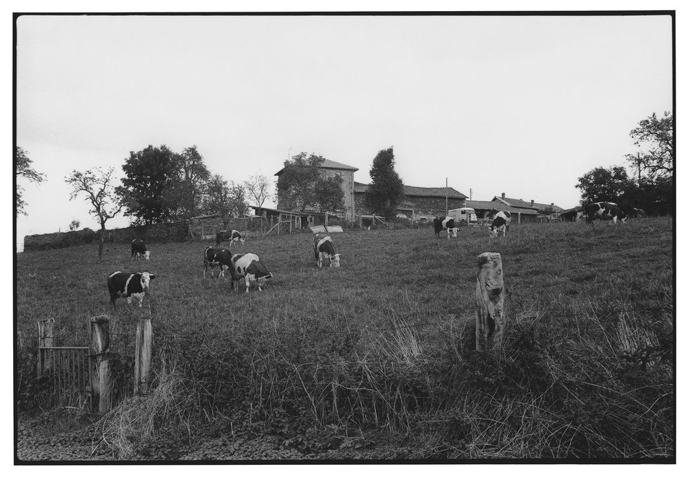 vaches . auvergne . france . 1981