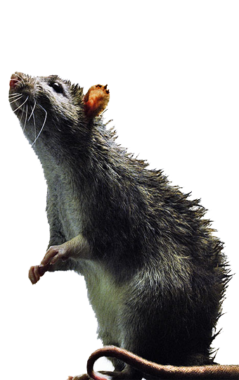 Dallas Rodent Removal