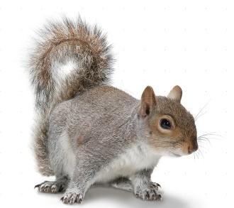 Dallas Squirrel Removal