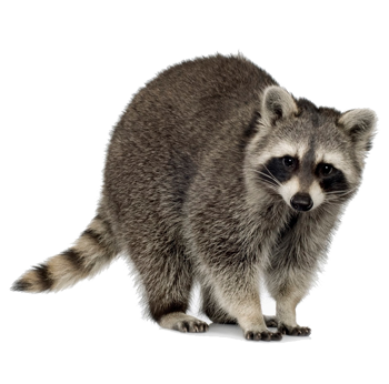Dallas Raccoon Removal