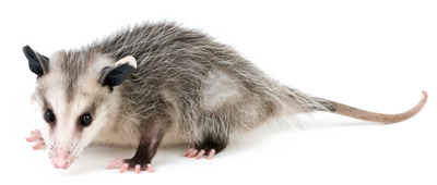 Dallas Opossum Removal