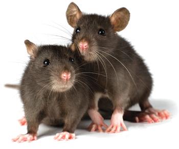 Dallas Rat Control