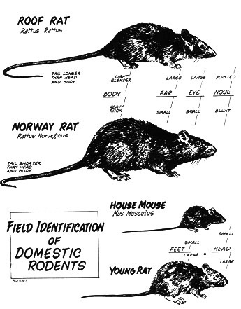 examples of rats