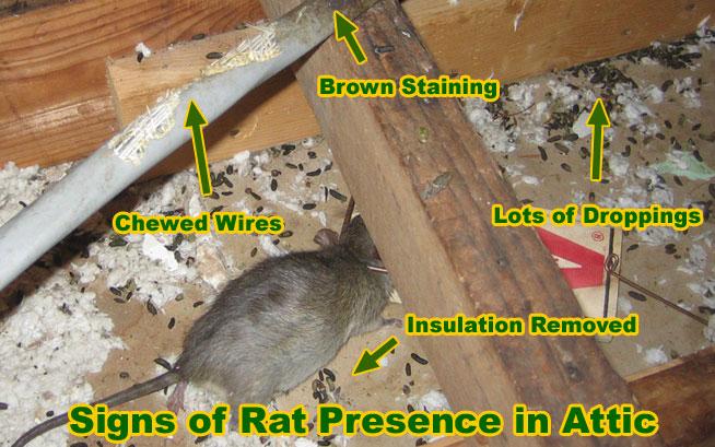 image from http://www.attic-rat.com/rat-presence.jpg