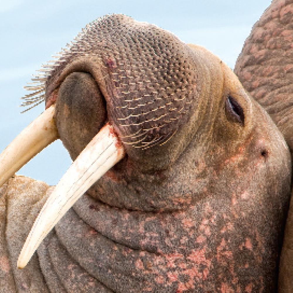 """I am the Walrus""Mental Floss"