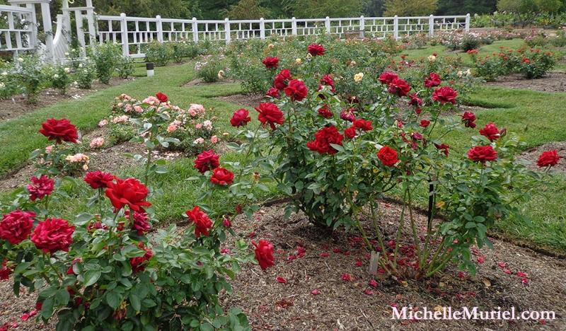 Missouri Botanical Rose Garden
