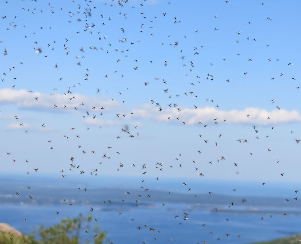 Flying ant swarm on Cadillac Mountain in August.