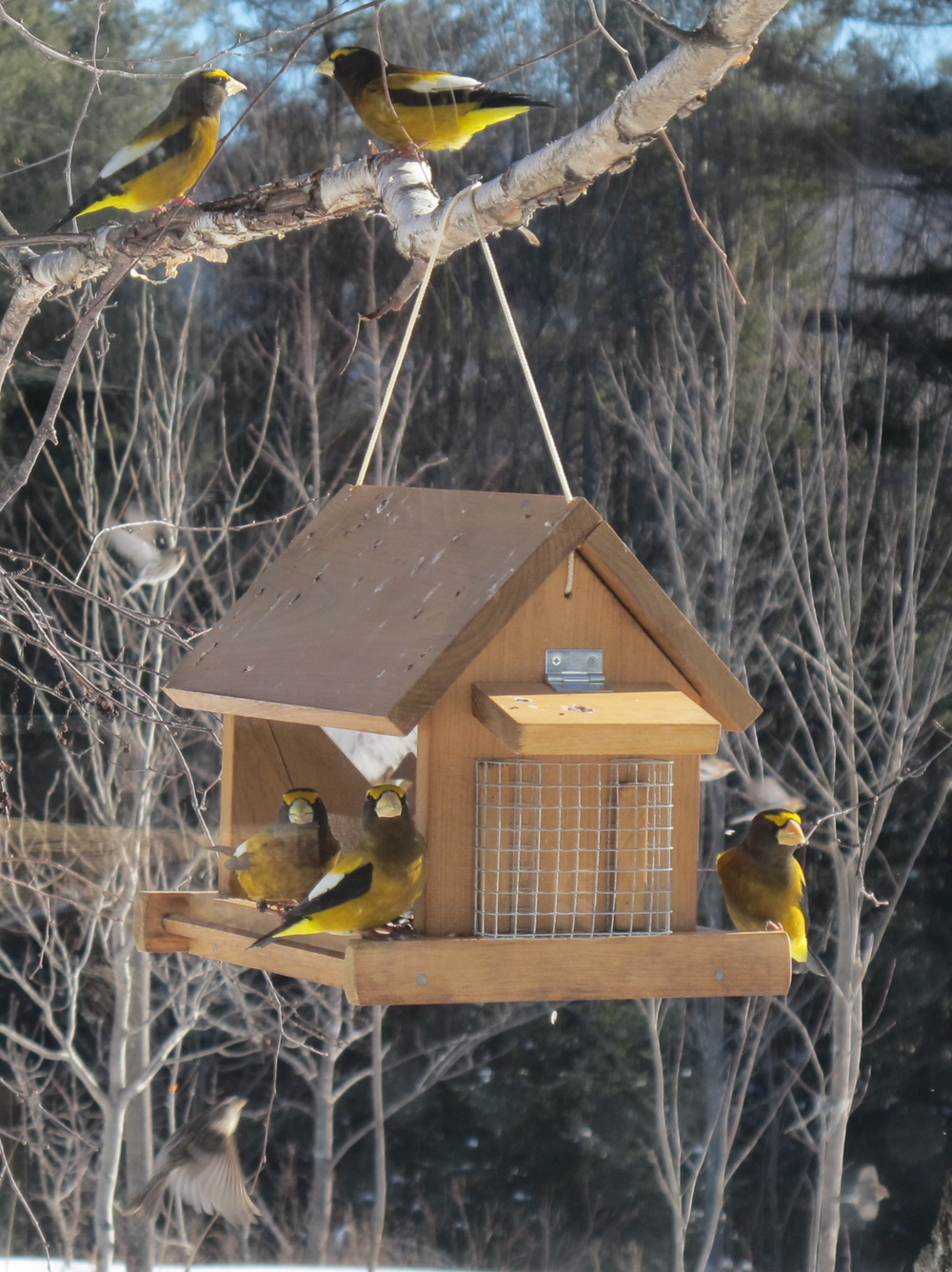 Evening grosbeaks in morning, January.