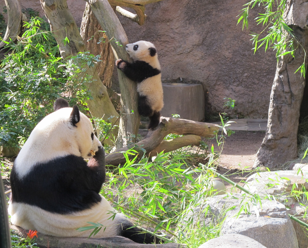 Pandas at the San Diego Zoo, January.