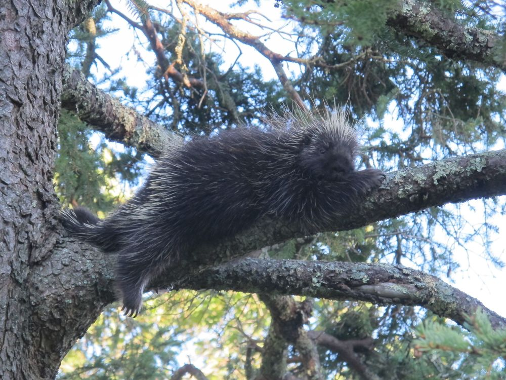 Porcupine hanging out in a spruce tree at our house, September.