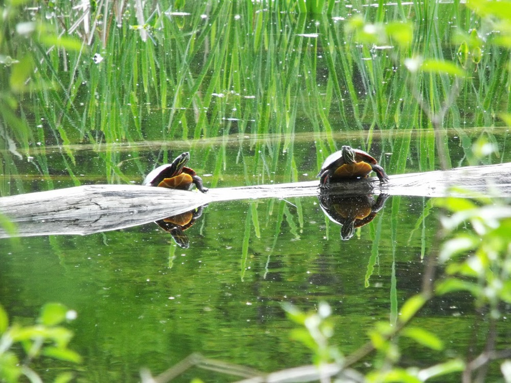 Painted turtles, photographed in Maine in May by Notebook team member Amy Gagnon.